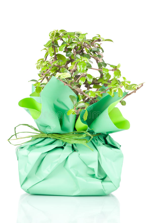 Download Bonsai In Document Gift Wordt Verpakt Die Stock Afbeelding - Afbeelding bestaande uit dwerg, detail: 29511281