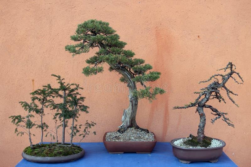 Bonsai drie royalty-vrije stock fotografie