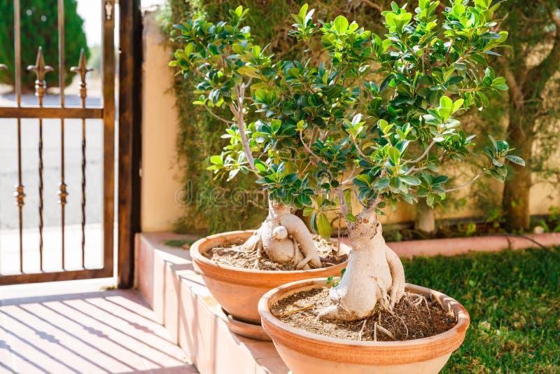 Bonsai drzewa fotografia stock