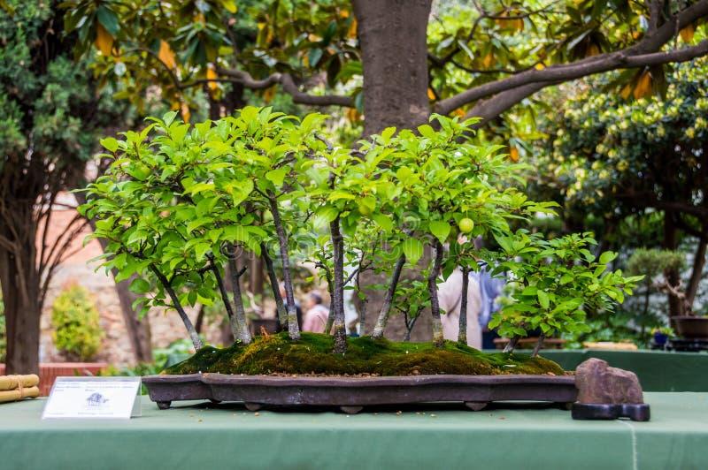 Bonsai drzewny jarmark w Hospitalet De Llobregat, Catalonia, Hiszpania fotografia stock