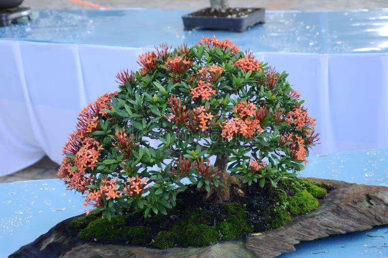 Bonsai drzewny pokaz dla społeczeństwa w Królewskim Floria Putrajaya ogródzie w Putrajaya, Malezja zdjęcie royalty free