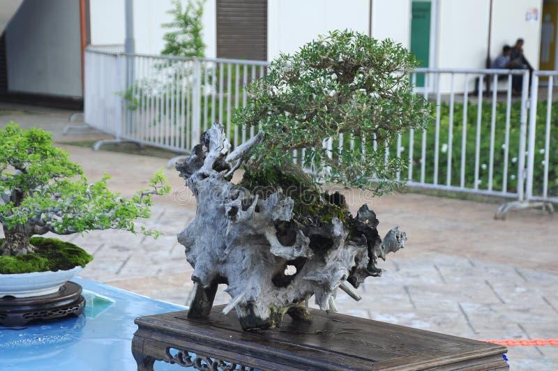 Bonsai drzewny pokaz dla społeczeństwa w Królewskim Floria Putrajaya ogródzie w Putrajaya, Malezja obraz royalty free
