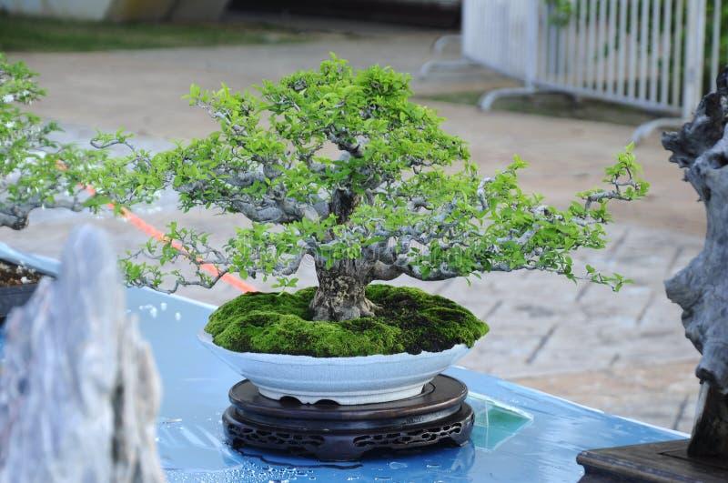 Bonsai drzewny pokaz dla społeczeństwa w Królewskim Floria Putrajaya ogródzie w Putrajaya, Malezja zdjęcia royalty free