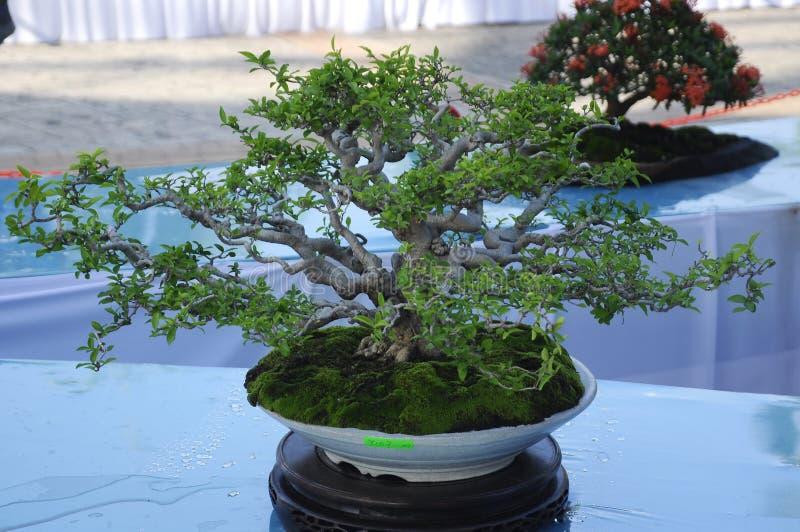 Bonsai drzewny pokaz dla społeczeństwa w Królewskim Floria Putrajaya ogródzie w Putrajaya, Malezja fotografia stock
