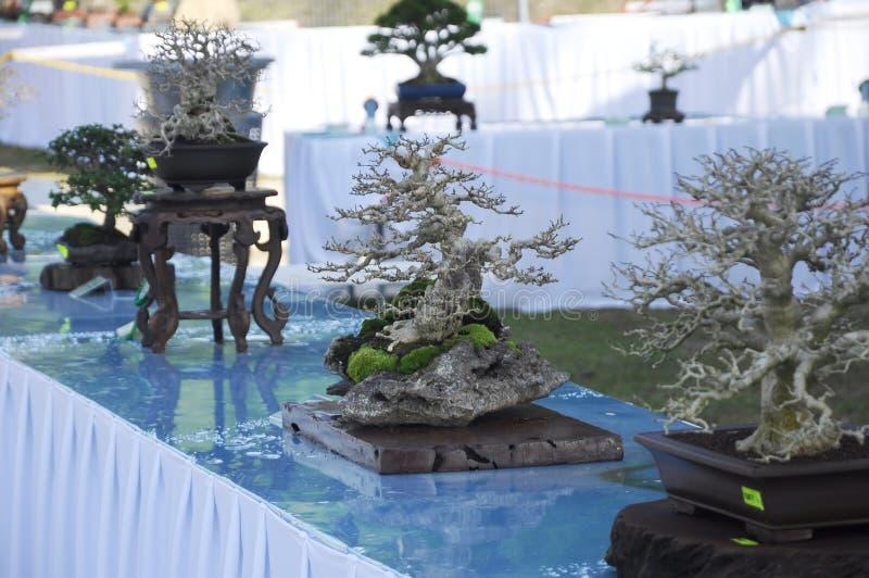 Bonsai drzewny pokaz dla społeczeństwa w Królewskim Floria Putrajaya ogródzie w Putrajaya, Malezja fotografia royalty free