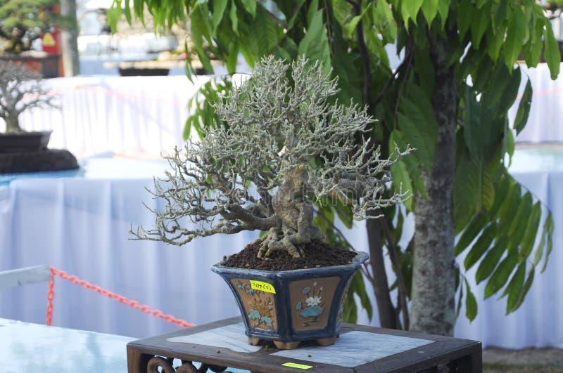 Bonsai drzewny pokaz dla społeczeństwa w Królewskim Floria Putrajaya ogródzie w Putrajaya, Malezja obrazy stock