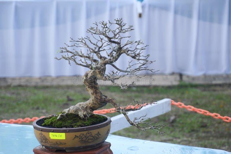 Bonsai drzewny pokaz dla społeczeństwa w Królewskim Floria Putrajaya ogródzie w Putrajaya, Malezja zdjęcie stock