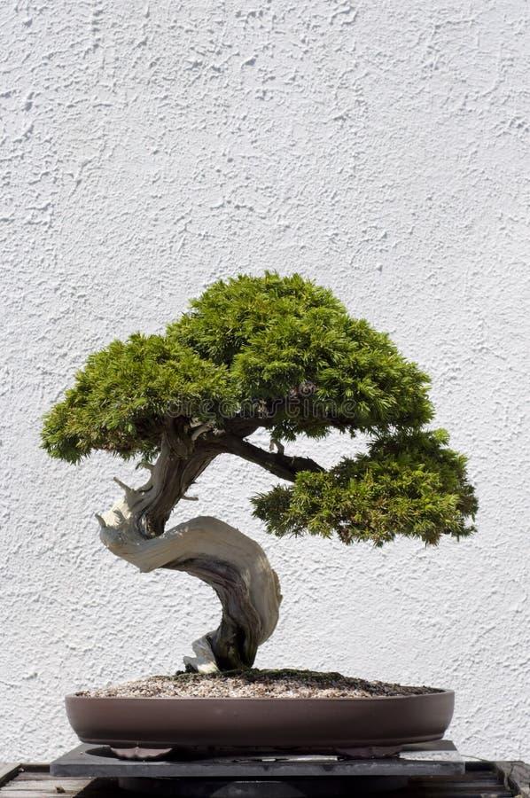 bonsai drzewo obraz stock