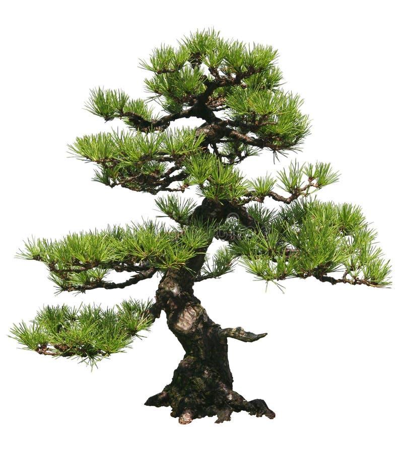 bonsai drzewo fotografia stock