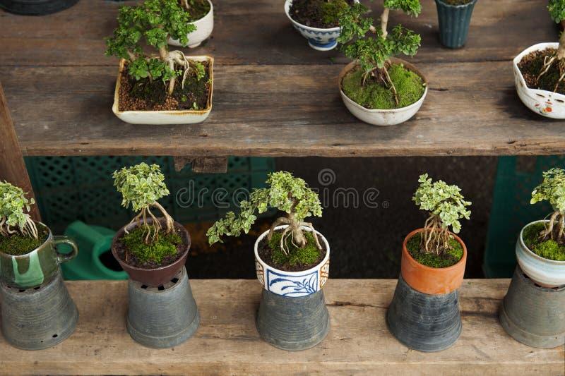 Bonsai drzewo dla mini ogródu w sklepie przy drzewo rynkiem zdjęcie stock