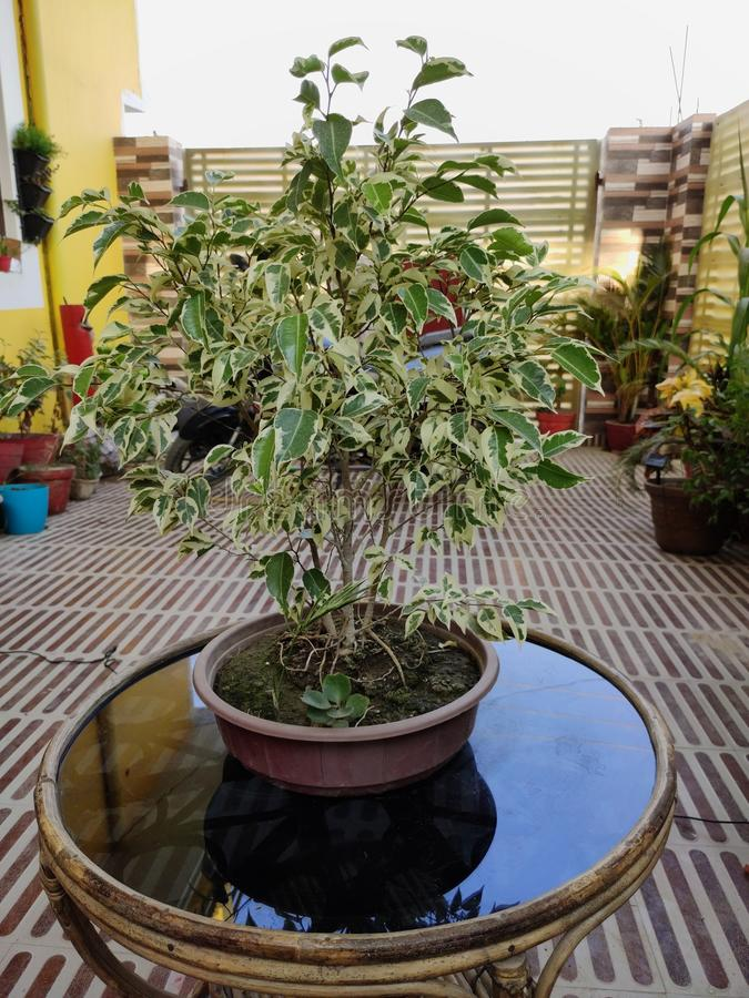 Bonsai-Ficus-Anlage lizenzfreie stockfotos