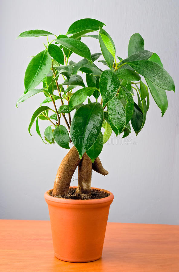 Download Bonsai Ficus Tree stock photo. Image of clean, leaf, lush - 12944972