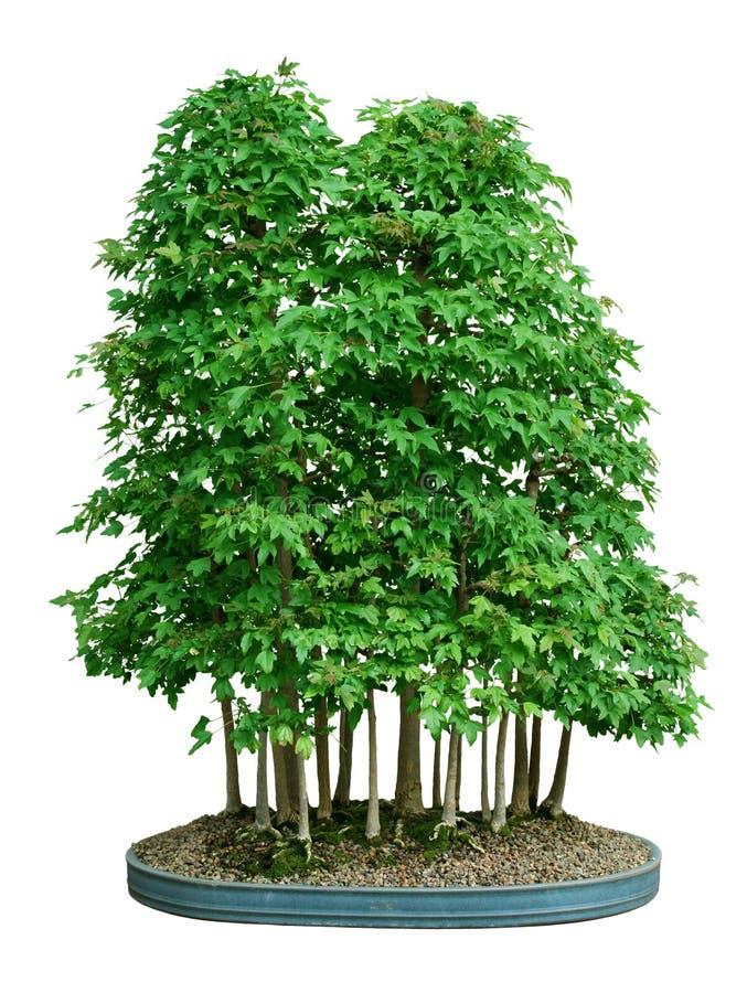 Free Bonsai Forest Stock Photo - 6000600