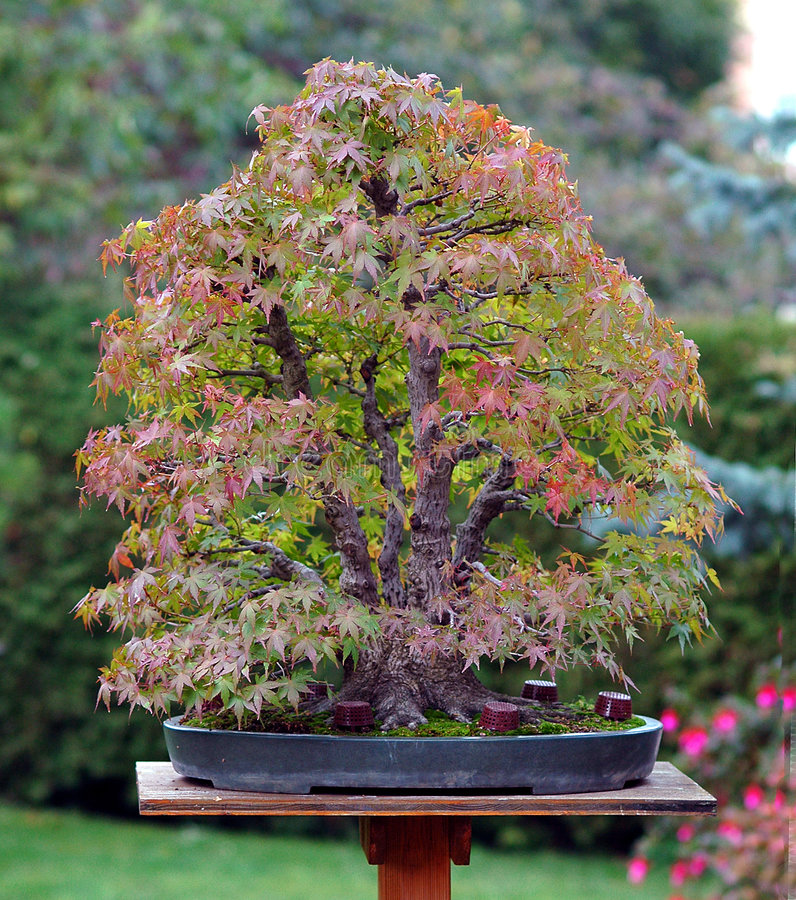 Bonsai in garden