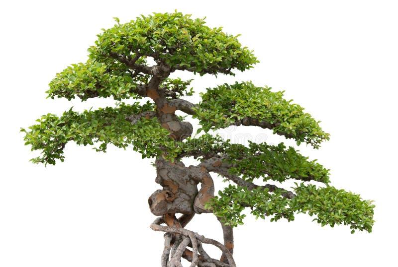 Bonsai, green elm tree on white background stock photo