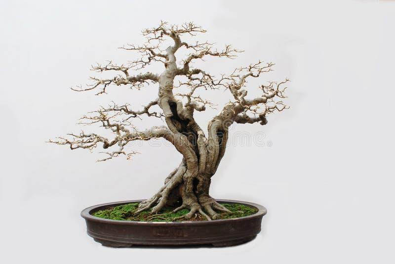 bonsai hackberry obraz royalty free