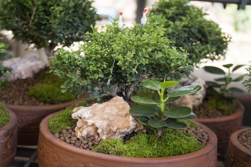 Bonsai i marknaden Thailand royaltyfri foto