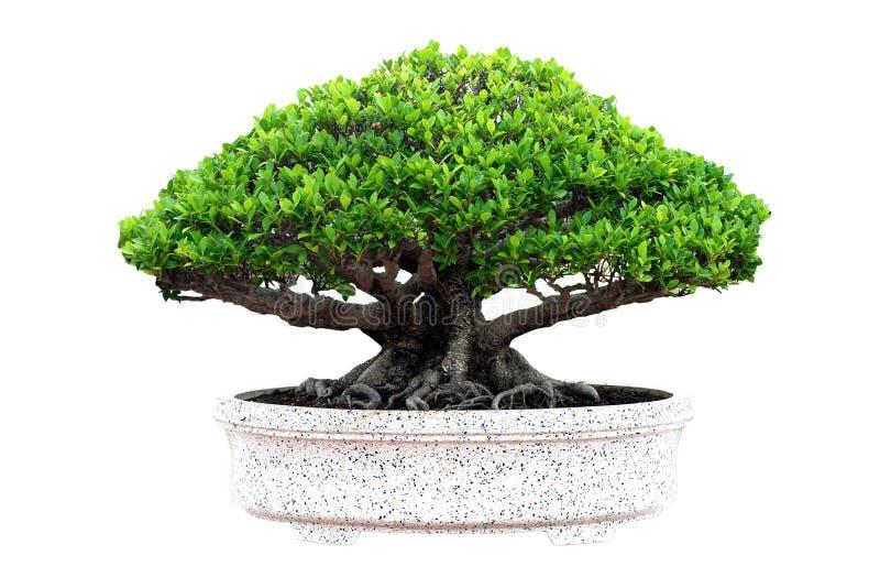 bonsai isolerad tree royaltyfria bilder