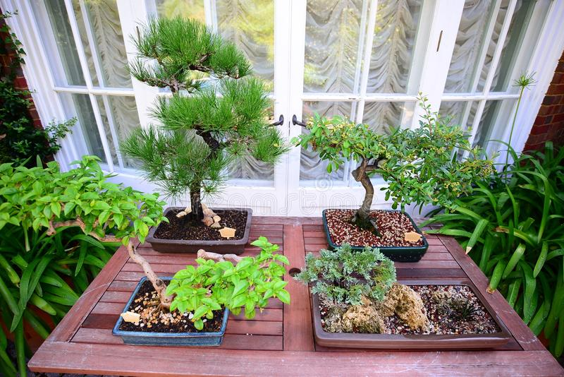 Japanese Bonsai Miniature Trees. Bonsai is a Japanese art form using miniature trees grown in containers. Similar practices exist in other cultures, including royalty free stock photos