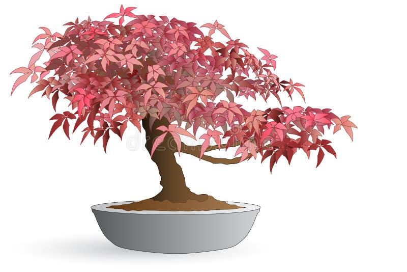 Bonsai of japanese maple. Isolated bonsai of japanese maple - Autumn colors