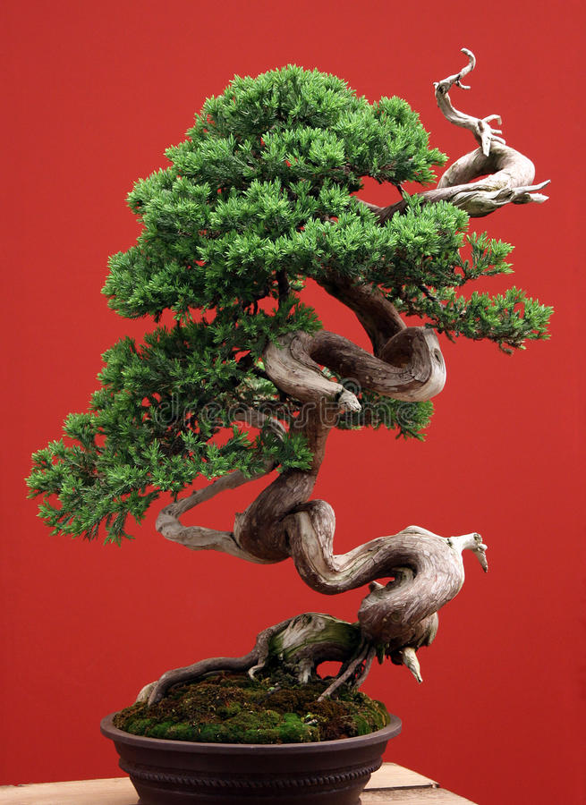Bonsai from juniper on a red background stock photography