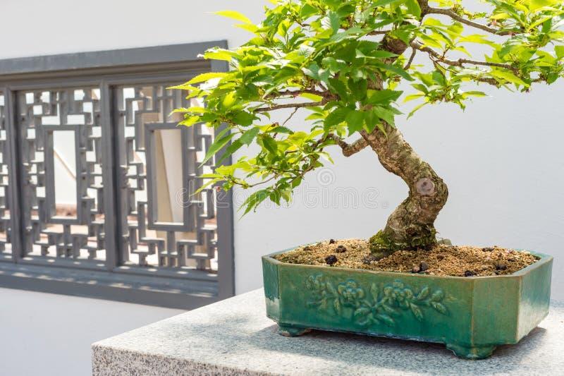 Bonsai Kurile för körsbärsrött träd royaltyfria foton