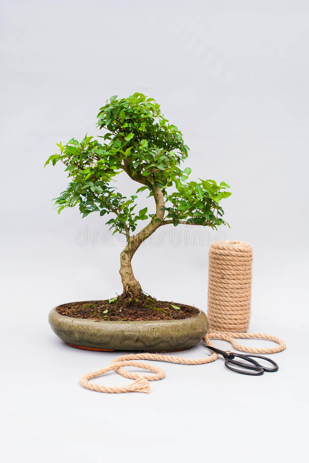 Bonsai On A Light Gray Background With Scissors To Care For Indoor ...