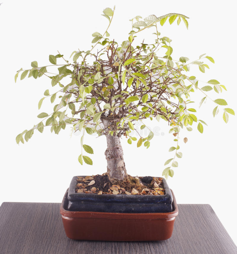 Bonsai nad stołem zdjęcie stock