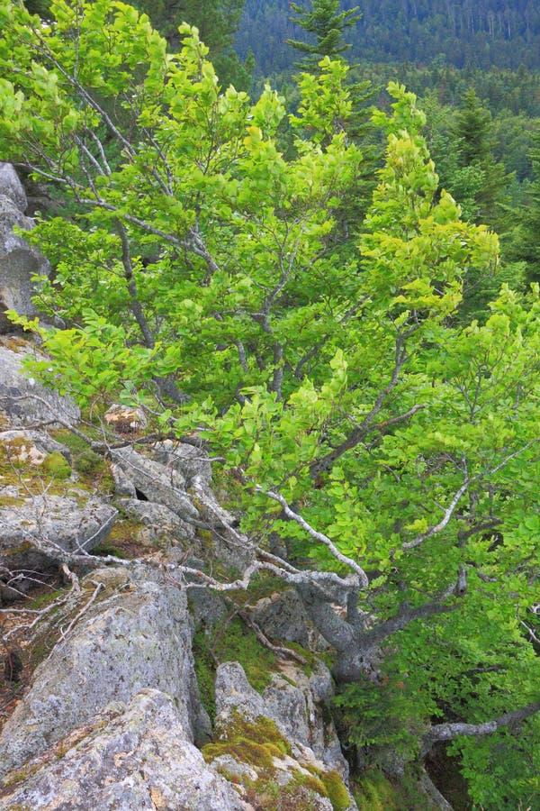 Bonsai naturali dell'albero di faggio in Pirenei fotografia stock