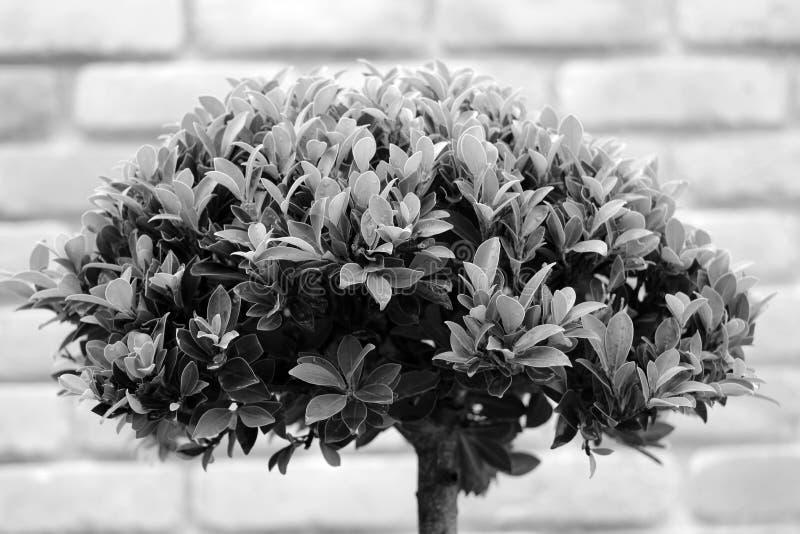 Bonsai nel tono grigio immagini stock