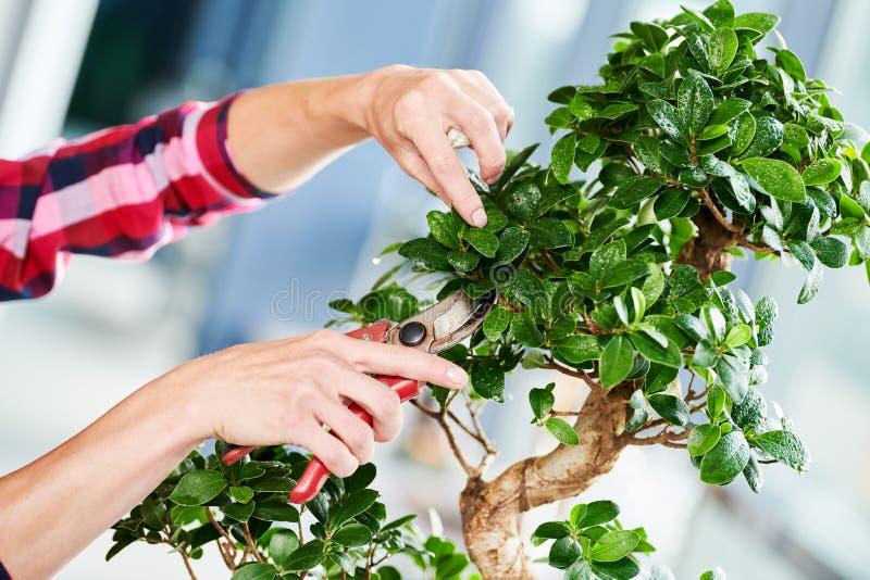 bonsai obrządzania houseplant przyrost Przycinać małego drzewa obrazy royalty free