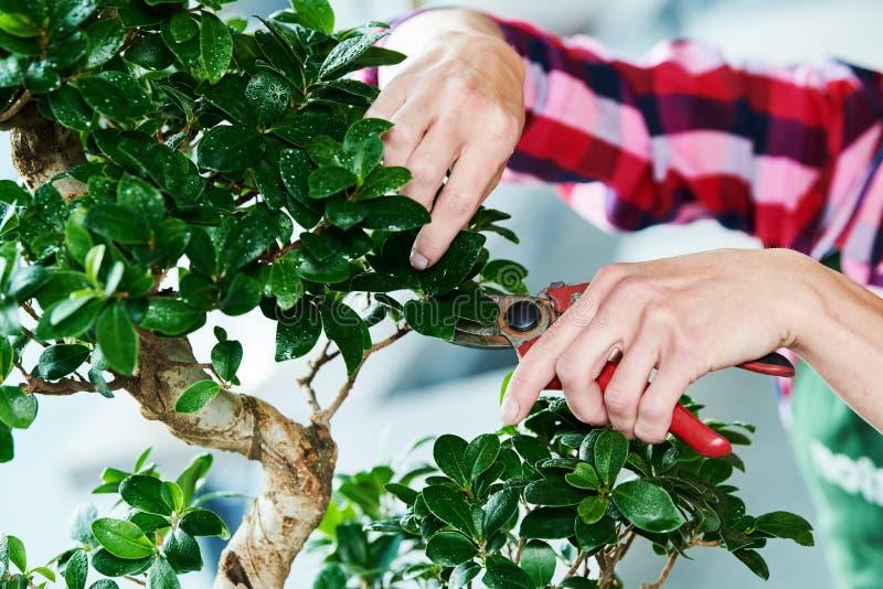bonsai obrządzania houseplant przyrost Przycinać małego drzewa fotografia stock
