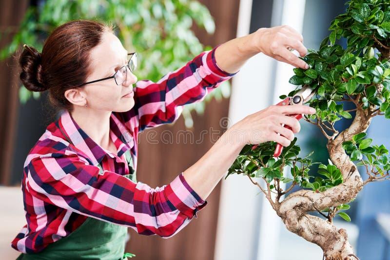 bonsai obrządzania houseplant przyrost Przycinać małego drzewa obraz royalty free