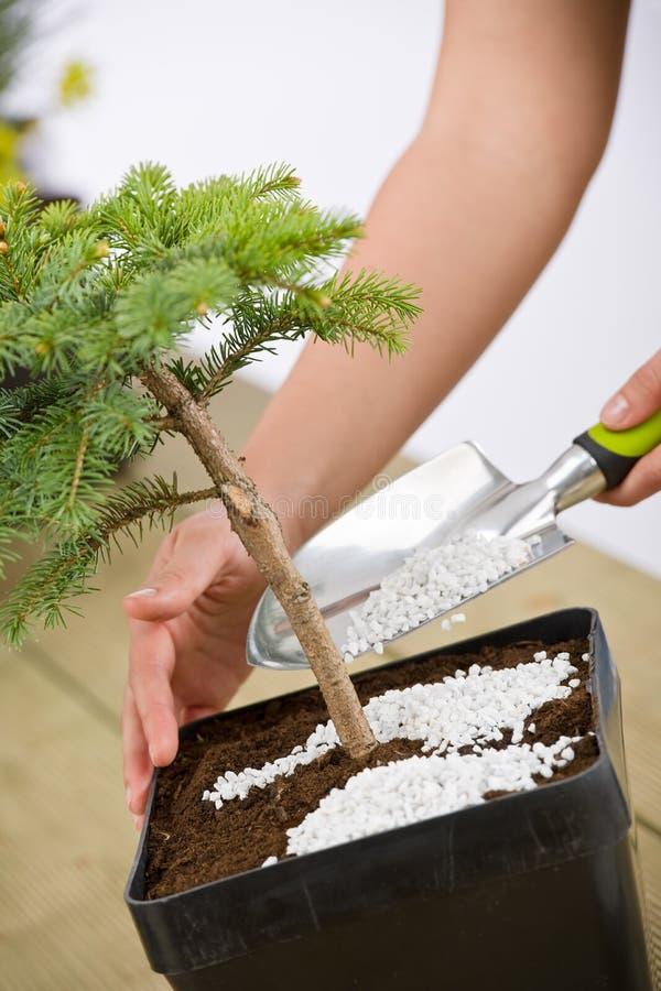 bonsai opieki żeński ogrodnictwa ręk wp8lywy drzewo zdjęcia stock