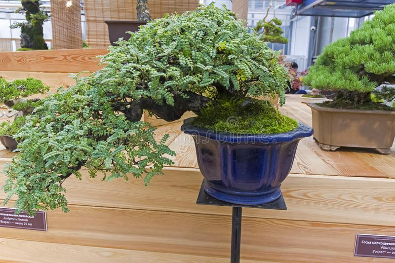Bonsai Tree - Trident Maple Editorial Photography - Image of