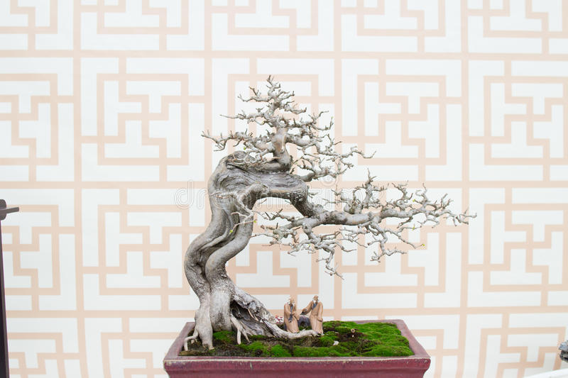 Bonsai pine tree against a white wall royalty free stock image