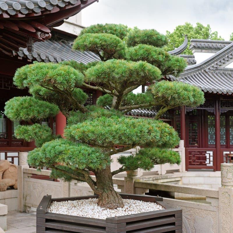 Bonsai pine tree stock image