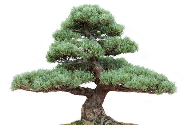 Bonsai pine tree royalty free stock photography