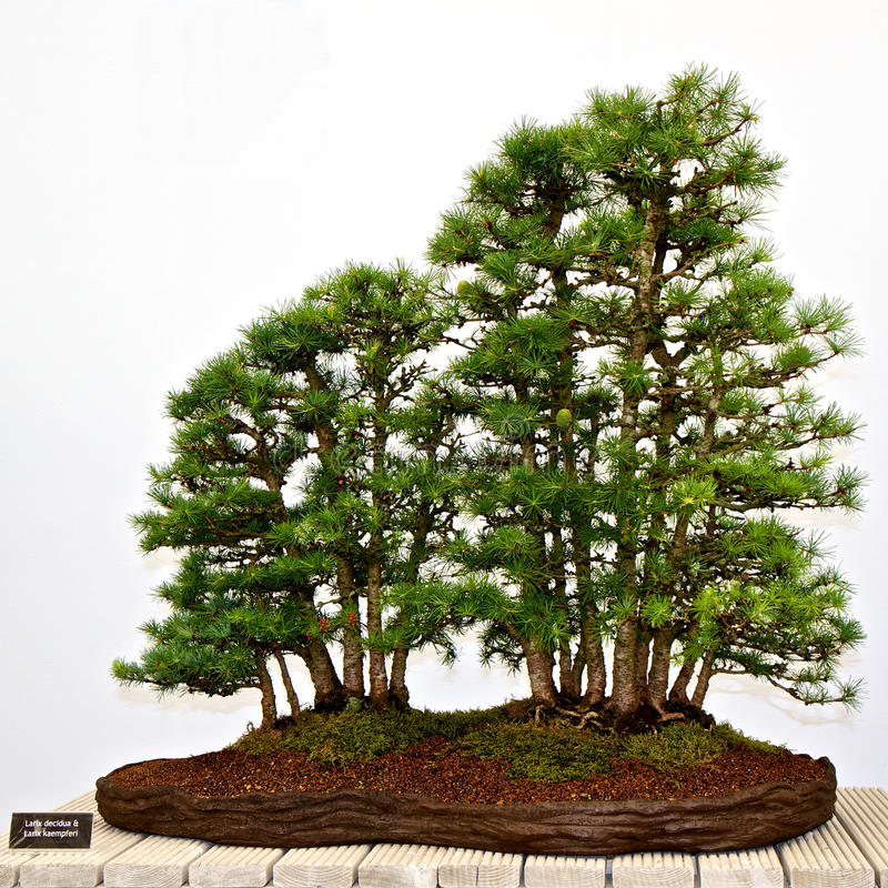 Bonsai pine trees. On display stand with botanical name plate, isolated on white background royalty free stock photography