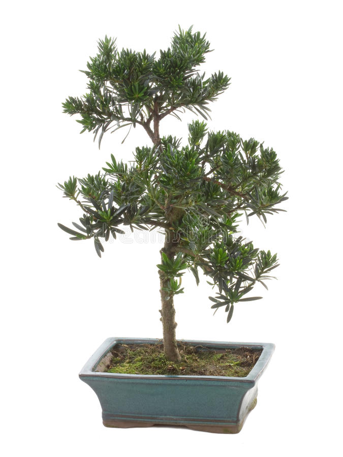 Download Bonsai plant stock photo. Image of beautiful, grow, natural - 26391266