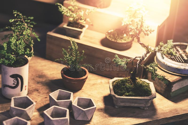 Bonsai in pot on the wood table with a light at night. royalty free stock photos