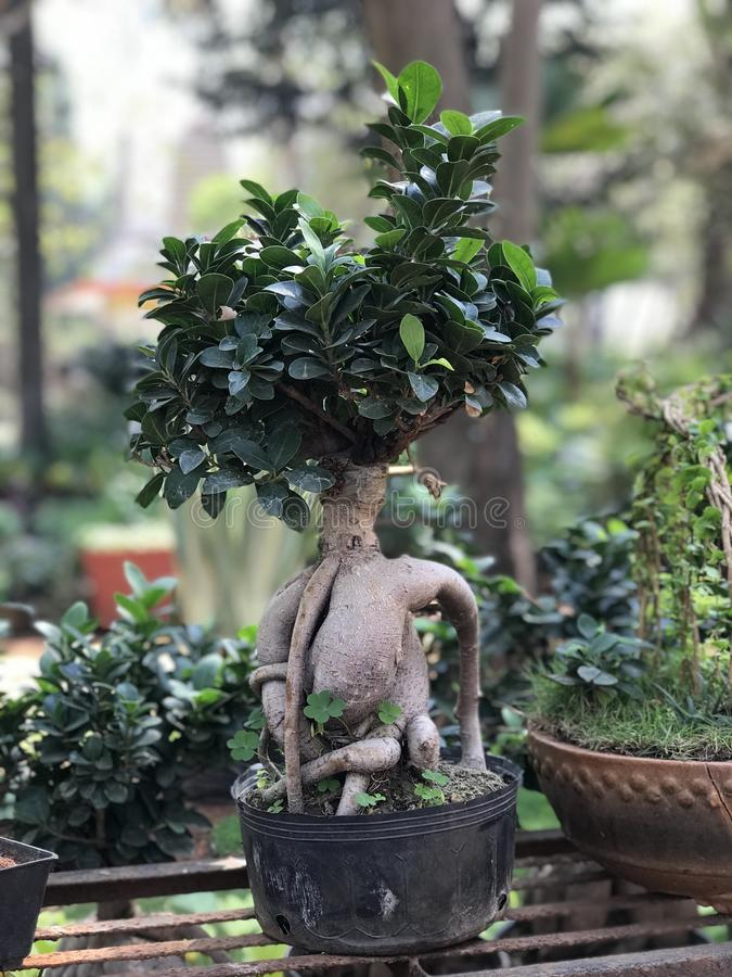 Bonsai presentation. japanese gardening culture. Miniscape. A bonsai presentation, the japanese gardening culture is an Asian art form using cultivation royalty free stock photos
