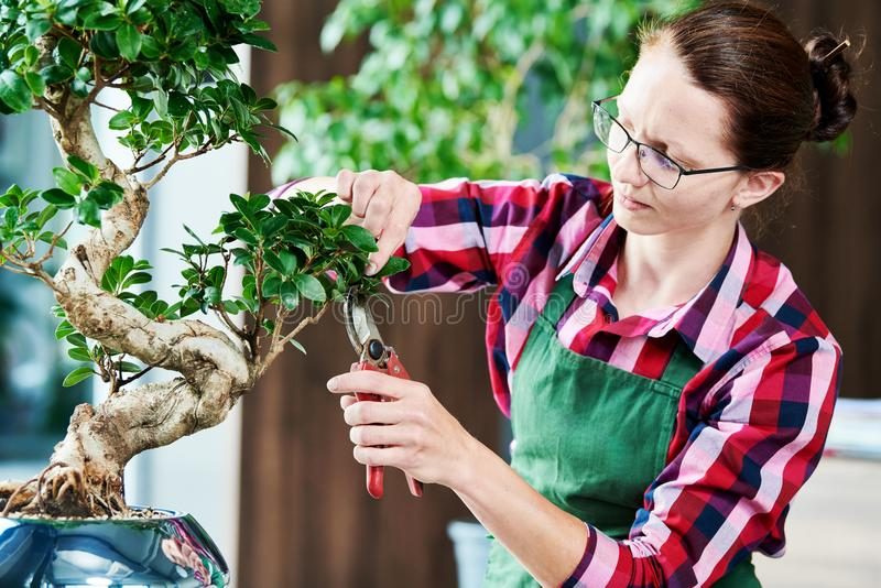 Bonsai. tending houseplant growth. Pruning small tree. royalty free stock photography