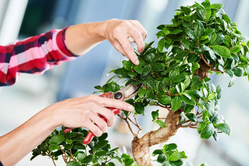Bonsai. tending houseplant growth. Pruning small tree. royalty free stock images