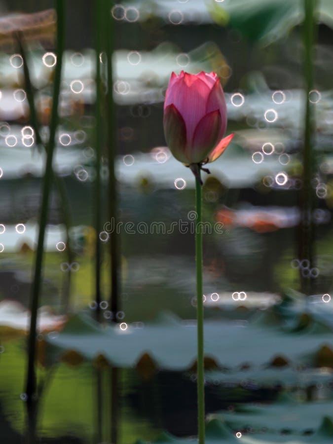 Bonsai pucharu lotos zdjęcie royalty free