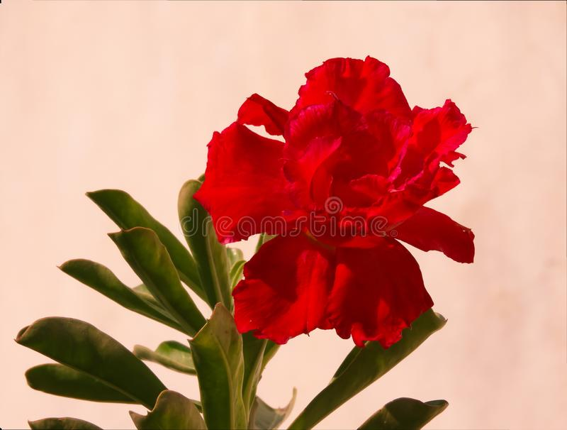 Bonsai red desert rose high quality back ground red tinted isolated flower royalty free stock photo