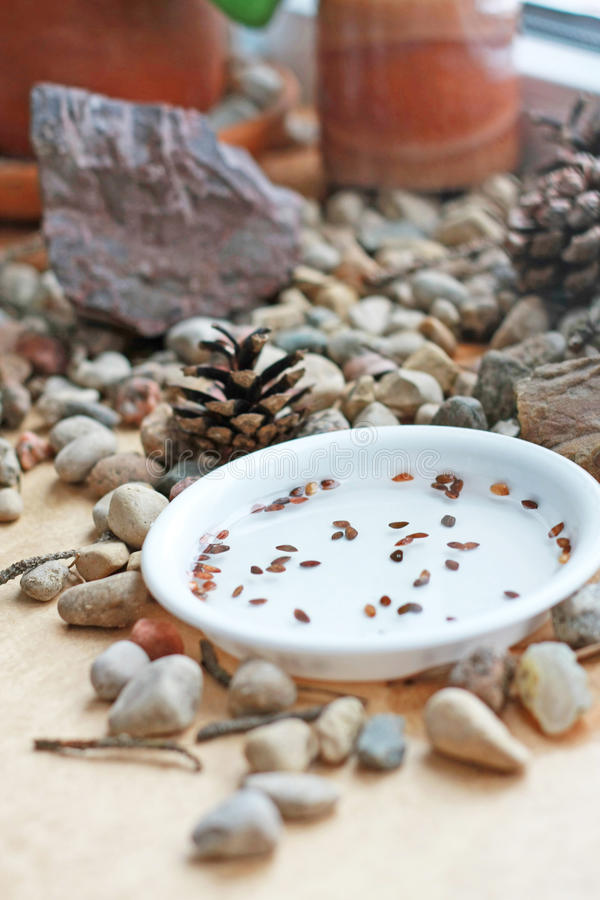 Bonsai seeds. Still life with stones and cones. Soaked Thunbergii seeds on a window sill. royalty free stock photography