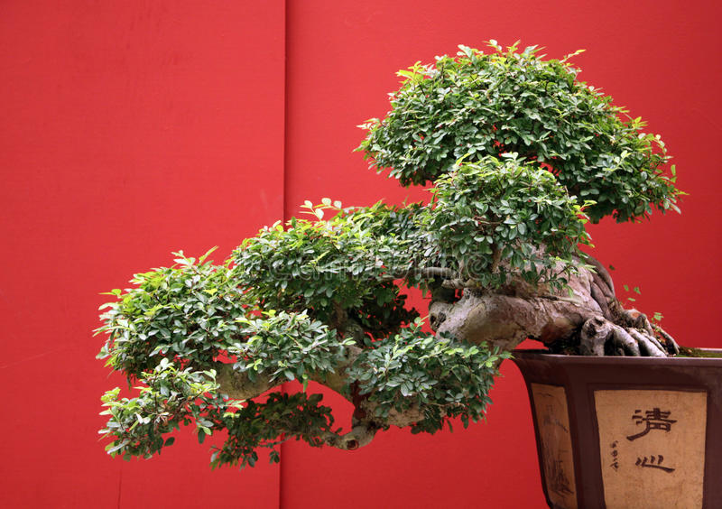 Bonsai som är gammala med den traditionella japan krukan royaltyfri bild