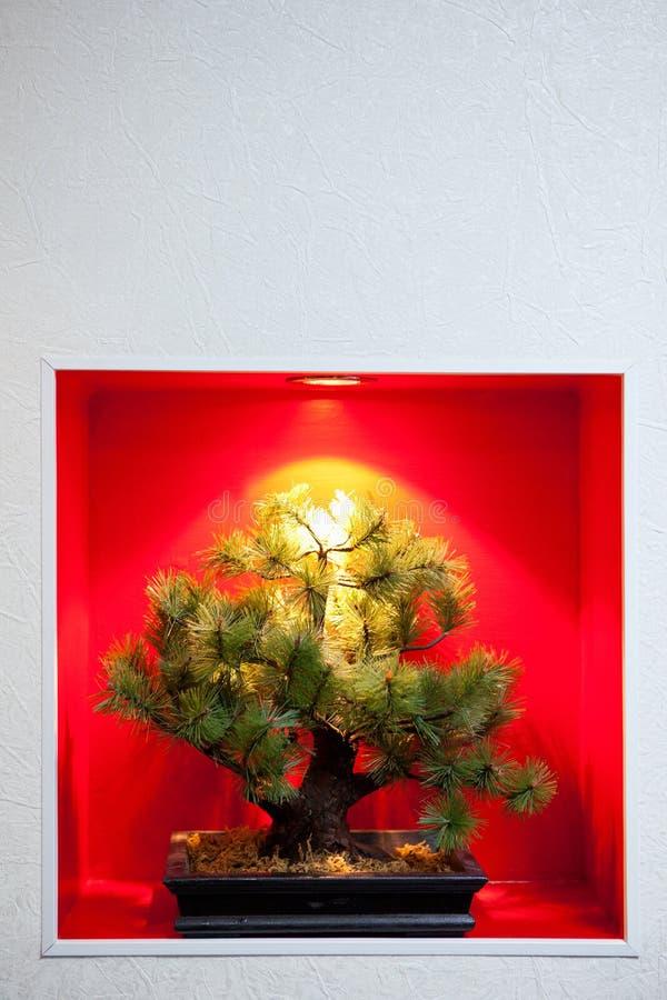 bonsai sosna przerywająca drzewa ściana obraz royalty free