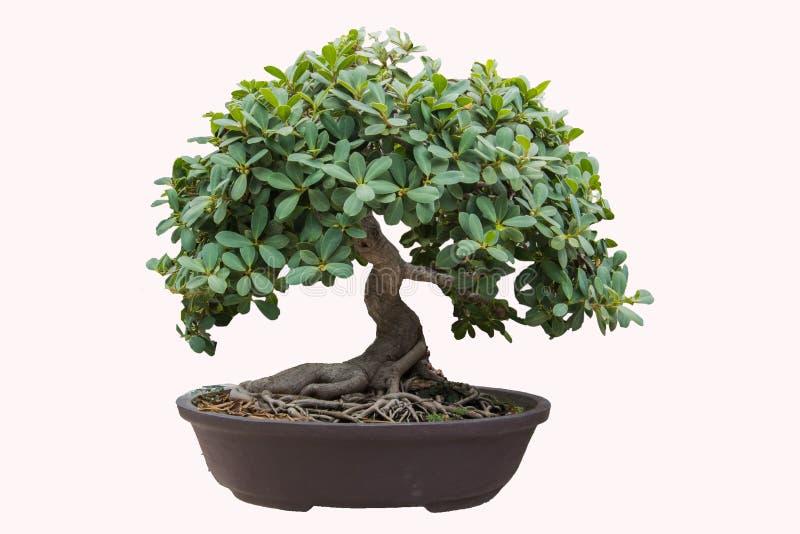 bonsai sosna wiecznozielona miniaturowa zdjęcia royalty free